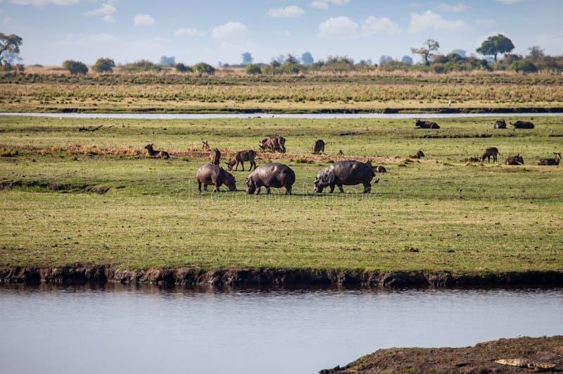 Hippo et buffle photographie stock