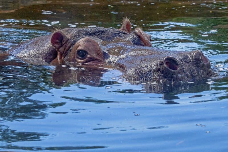 Hippo Eye (Occhio) immagine stock
