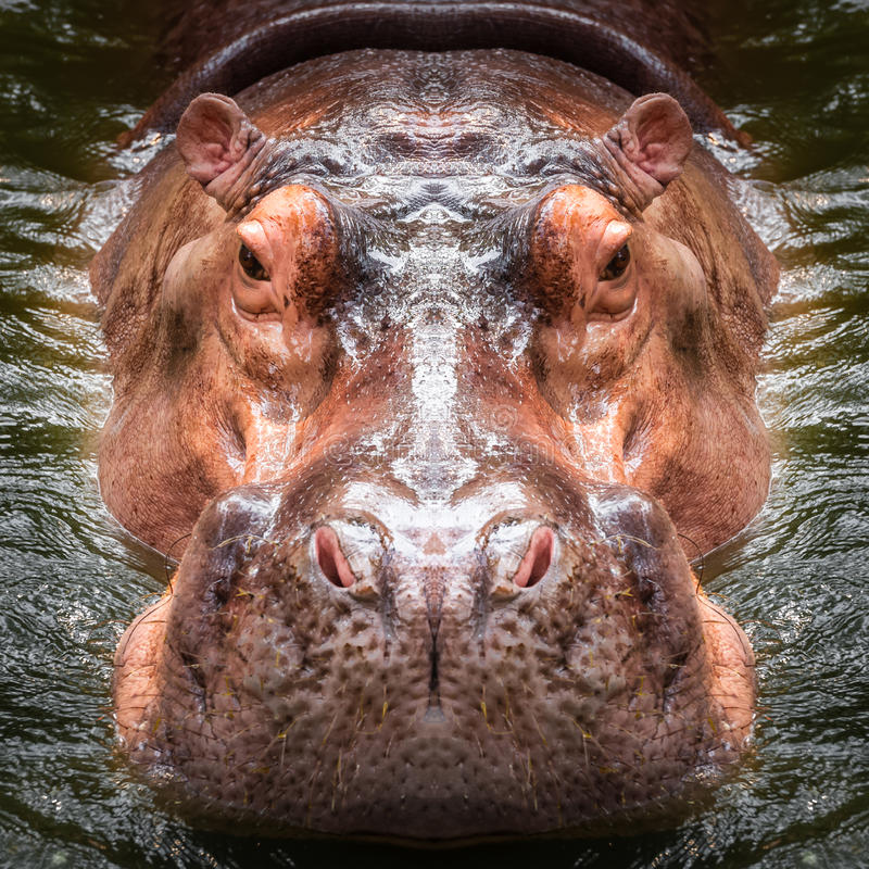 Hippo face close up stock photography