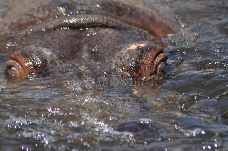 hippo Facendo galleggiare nell'acqua un grande animale immagini stock