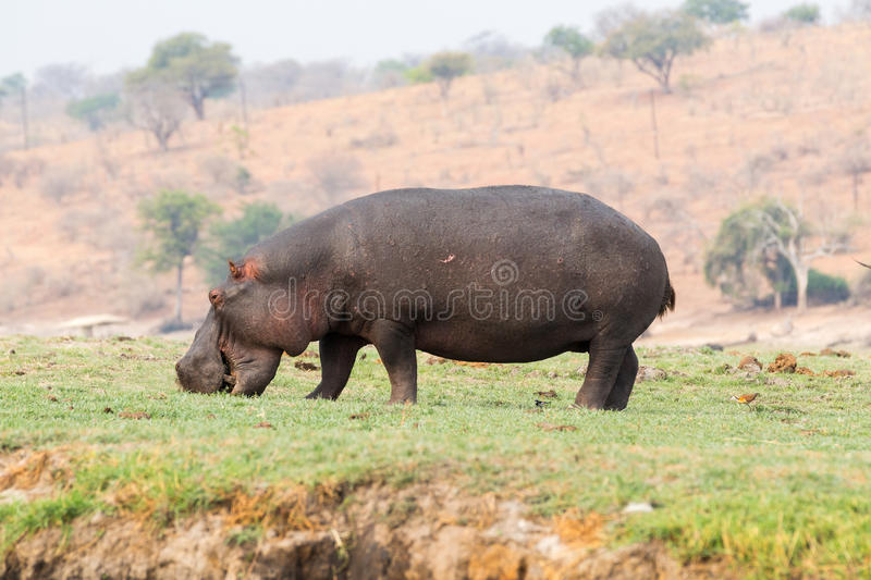 Hippo grazing royalty free stock image