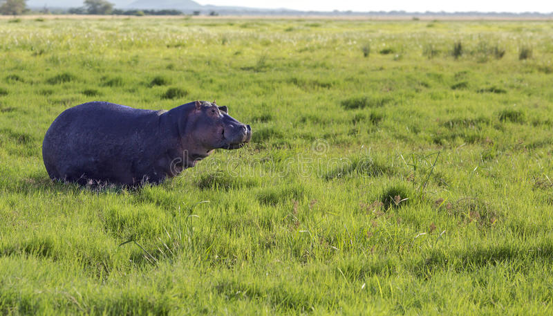 Hippo grazing in the savannah royalty free stock image