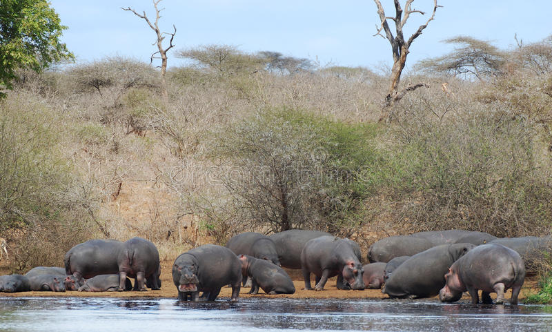 Hippo group on riverbank. Group of hippos on a riverbank in Kruger National Park, South Africa stock photography