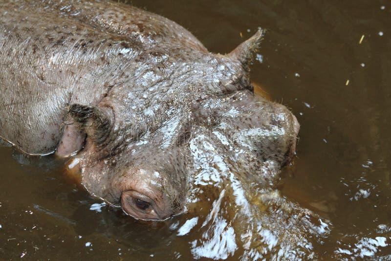 Hippo Head Royalty Free Stock Photos