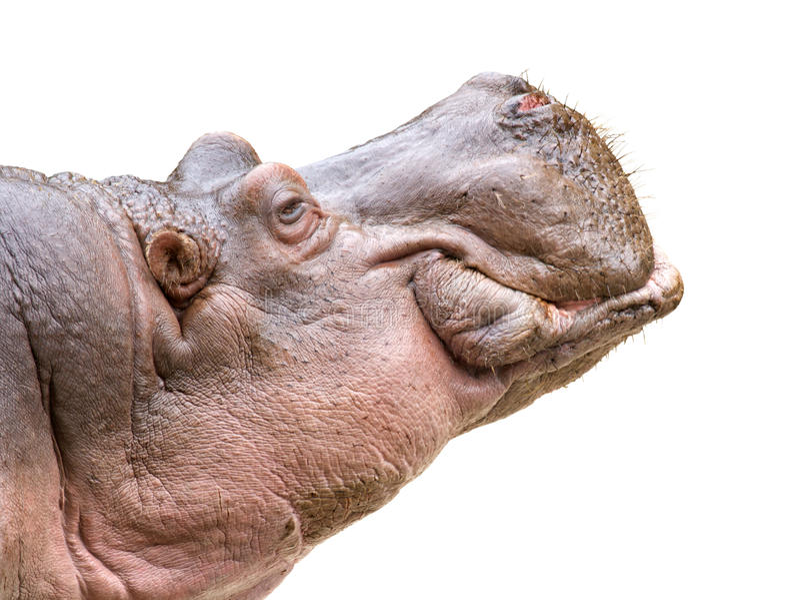 Hippo head on white stock image