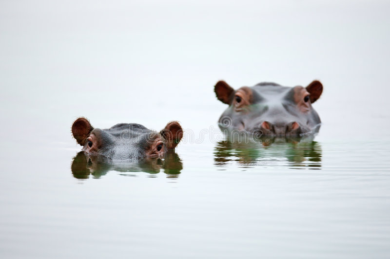 Hippo heads. Partial Hippo faces showing above smooth water; Hippopotamus amphibius; South Africa