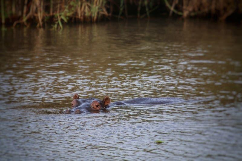 Hippo in het water royalty-vrije stock foto