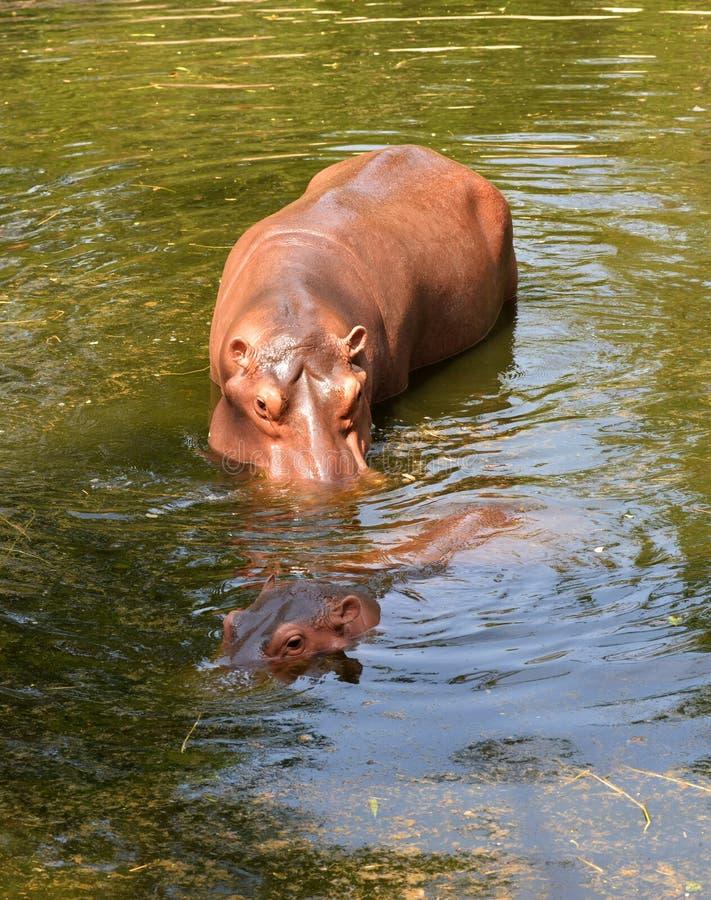 Hippo het zwemmen stock foto