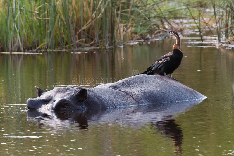 Hippo Hippopotamus, Okavango delta, Botswana Africa royalty free stock photos