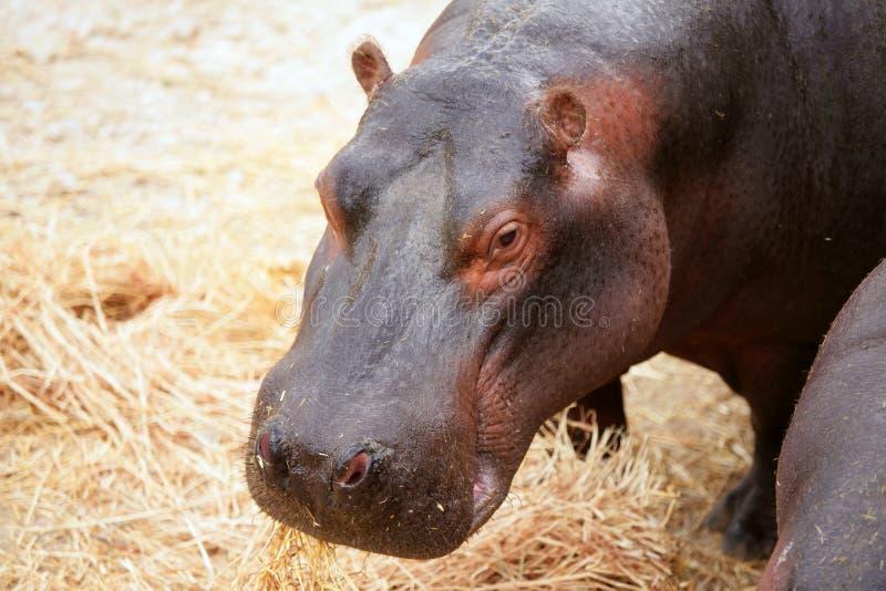 Hippo hippopotamus portrait royalty free stock photo