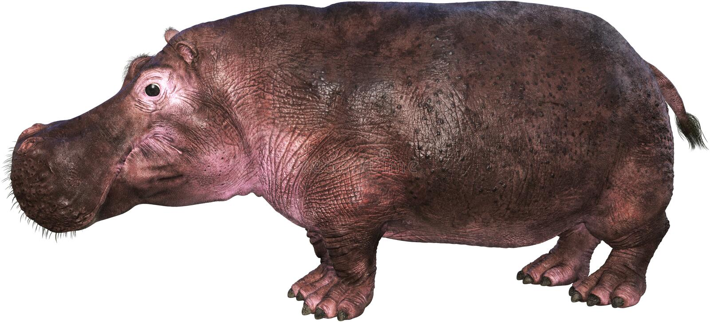 Hippo, Hippopotomus, φύση, άγρια φύση, που απομονώνεται στοκ φωτογραφία με δικαίωμα ελεύθερης χρήσης