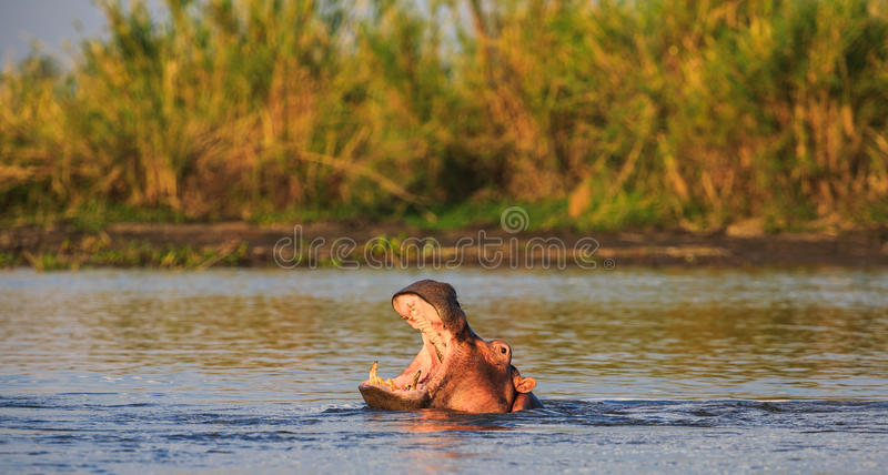 Hippo with his mouth open in the water. At sunset royalty free stock photos