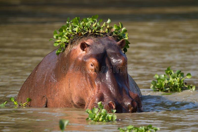 Hippo met greens royalty-vrije stock afbeeldingen