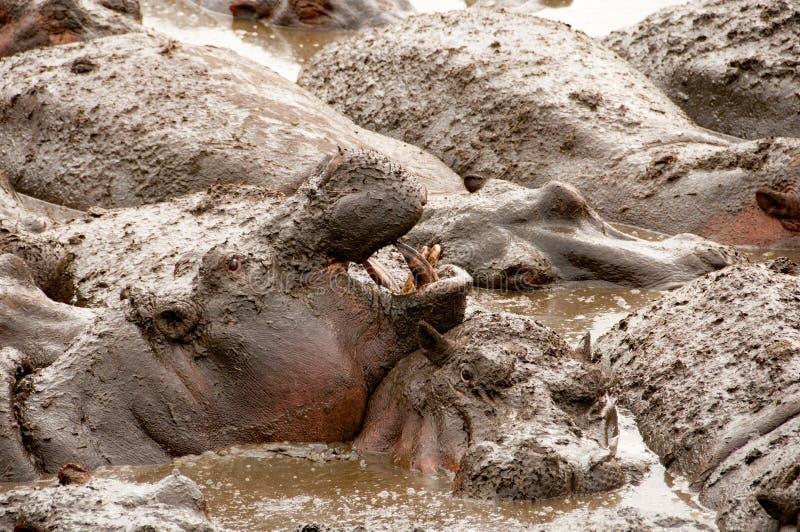 Hippo met open mond Serengeti NP, Tanzania royalty-vrije stock afbeeldingen