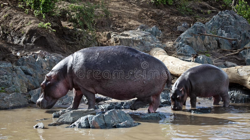Hippo-mother And The Baby Come Out Of A River Royalty Free Stock Photo