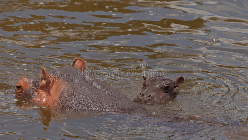Download Hippo Mother With Bay Stock Photography - Image: 24242482