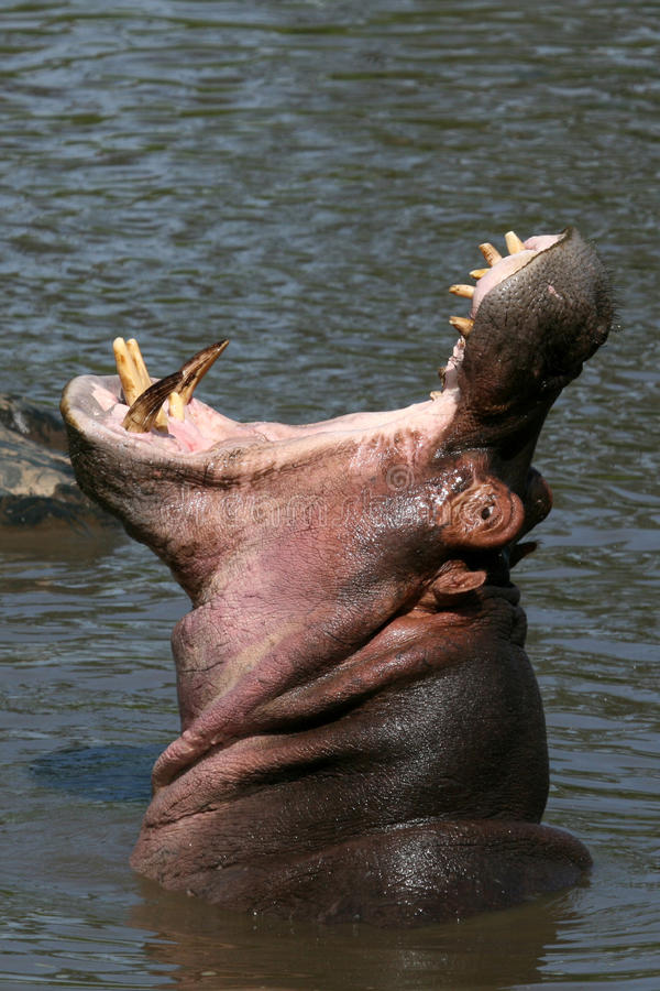Free Hippo Mouth Wide Open In Africa Stock Photos - 10363323