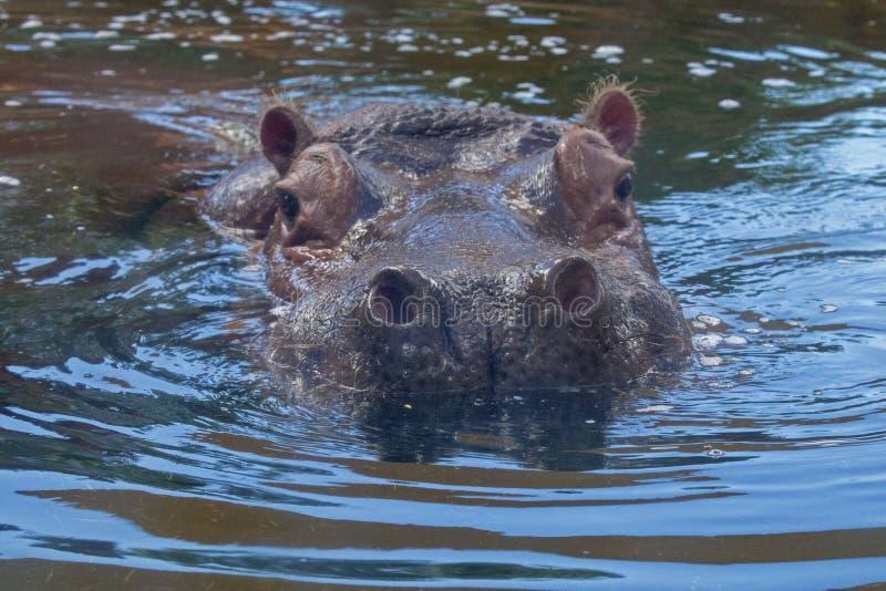 Hippo Nostrils fotografia stock libera da diritti
