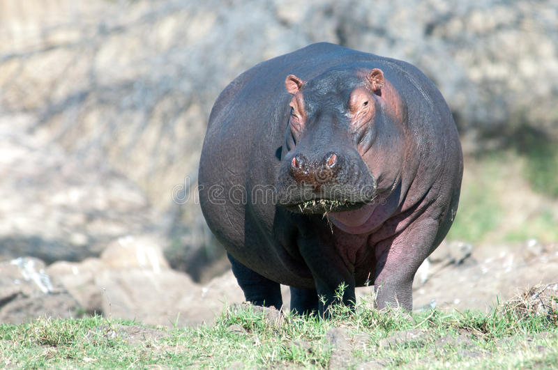 Hippo out of water royalty free stock photo