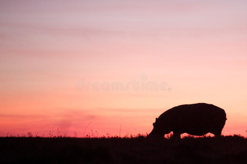 Hippo on a pink sunrise royalty free stock photo