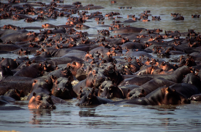 Hippo pool stock images