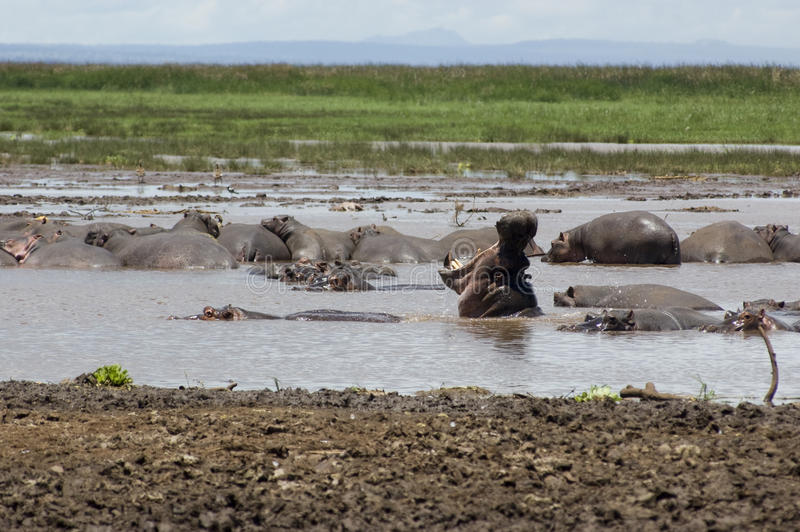 Download Hippo in the pool stock image. Image of lake, relax, kenya - 9718701