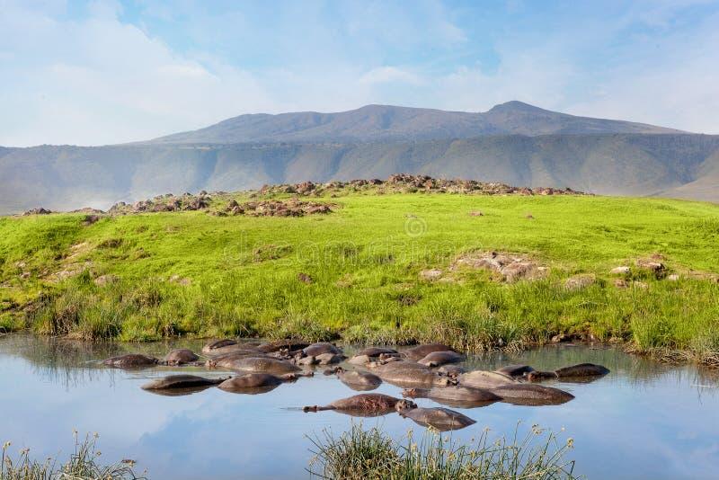 Hippo pool in serengeti national park. Savanna and safari. Beautiful safari wildlife royalty free stock image