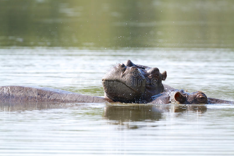 Download Hippo stock photo. Image of nose, national, kruger, wild - 31408052