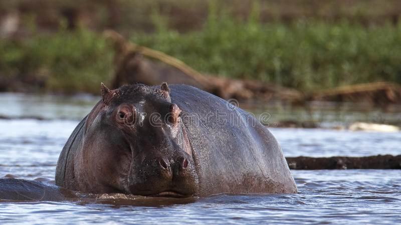 Download Hippo rises from the water stock image. Image of hippopotamidae - 14689795