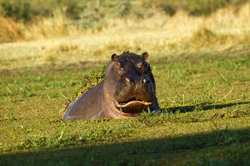 Hippo Rising From The Deep stock photos
