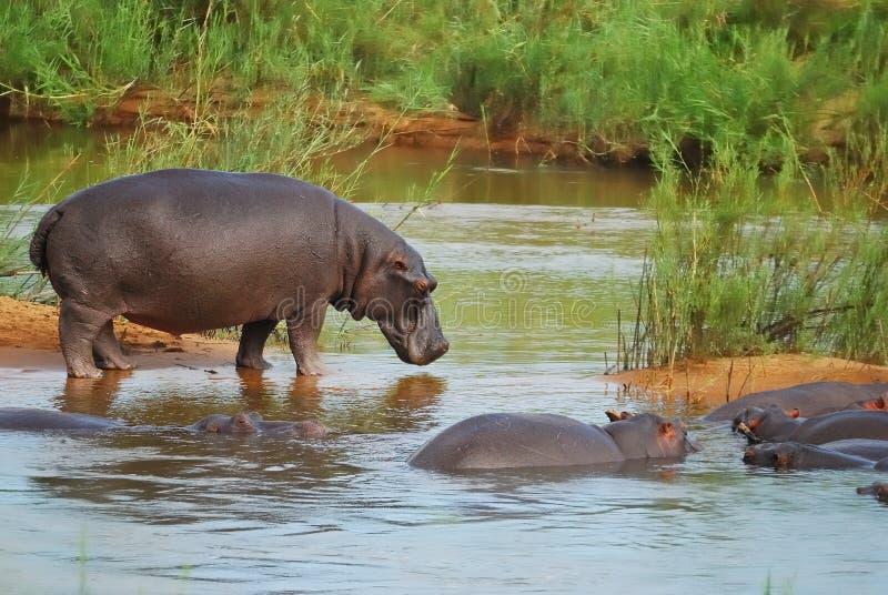 Hippo's (Hippopotamus amphibius) royalty free stock photo
