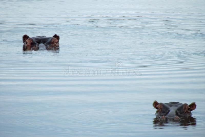 Hippo`s at Kruger National Park. South Africa. Amazing animals in the water. Nijlpaarden in Krugerpark stock photos