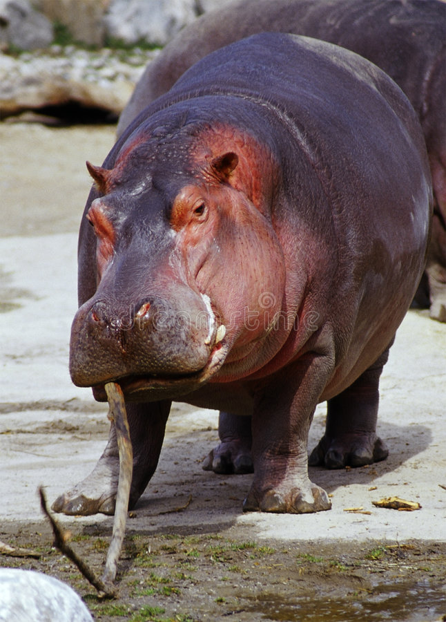 Hippo van Playfull stock foto's