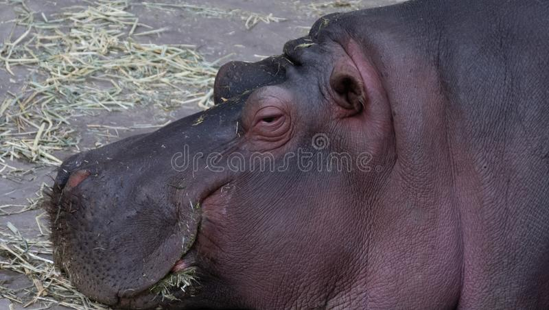 Napping Hippo at LA Zoo. This Hippo was napping in the afternoon sun at the LA Zoo stock images