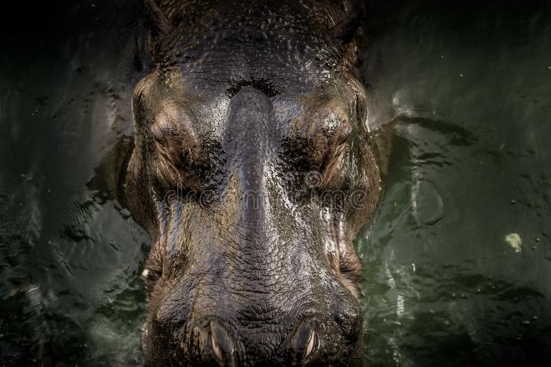 Hippo in water. Close up of head of Hippo in the water royalty free stock photos