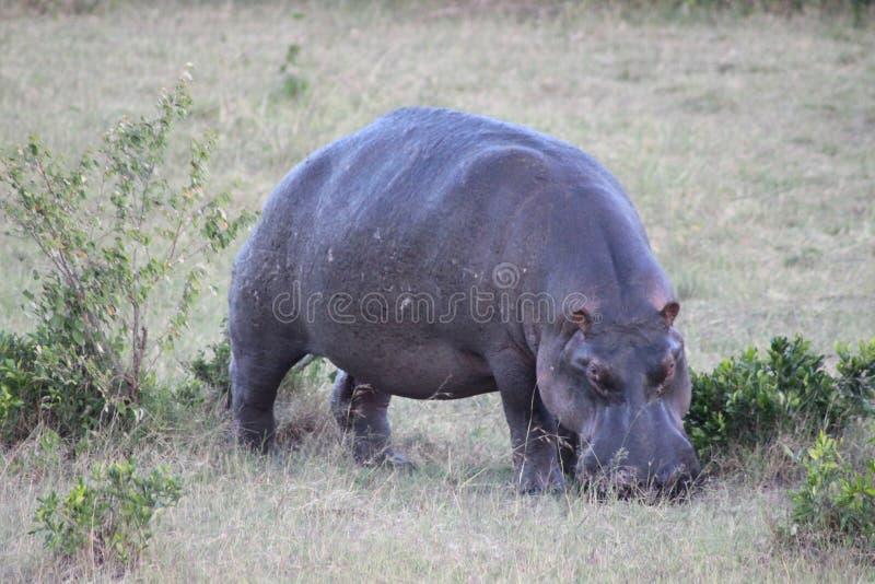 Hippo weidend gras op de savanne stock afbeelding