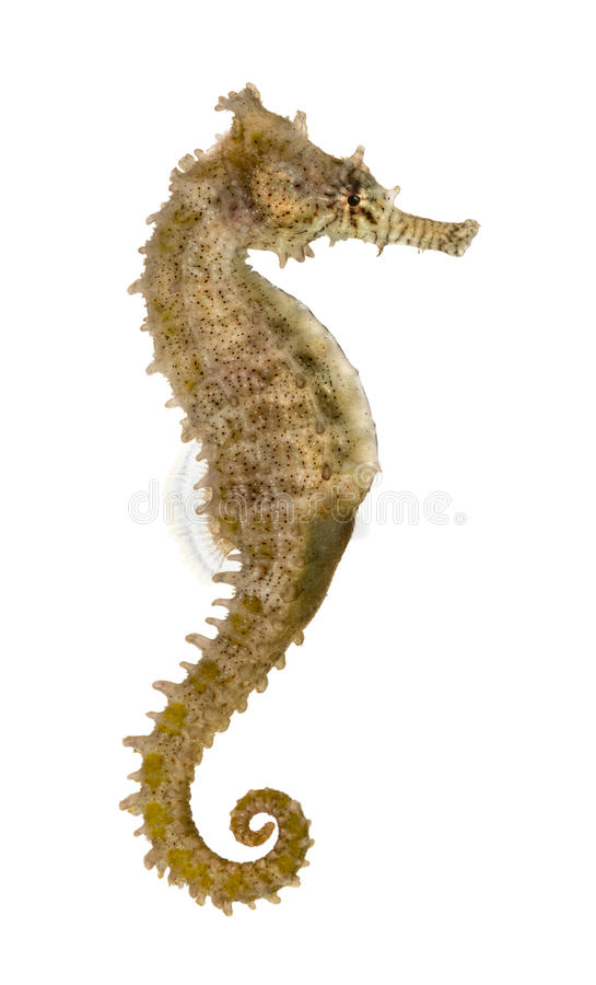 Hippocampe commun, kuda de hippocampe images libres de droits
