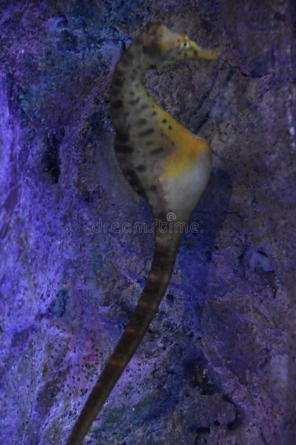 Hippocampe dans l'eau images stock
