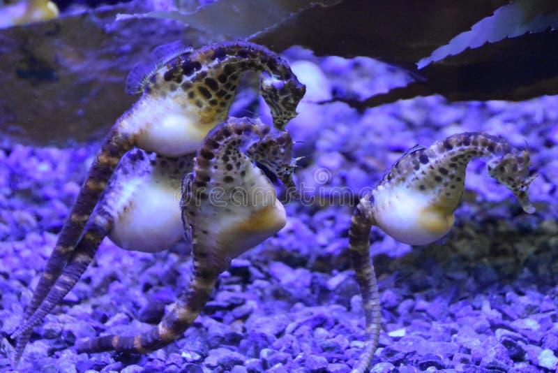 Hippocampe dans l'eau photos libres de droits