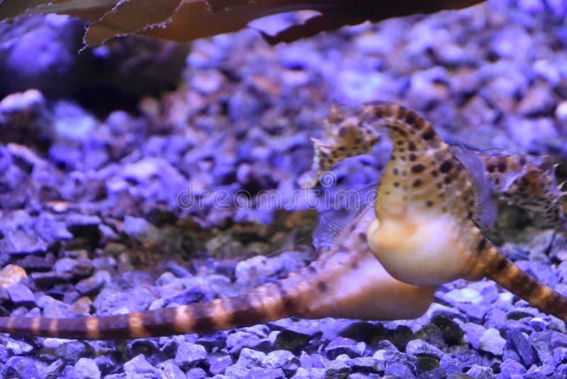 Hippocampe dans l'eau image libre de droits