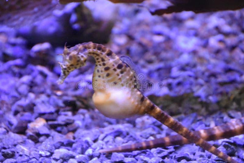 Hippocampe dans l'eau image stock