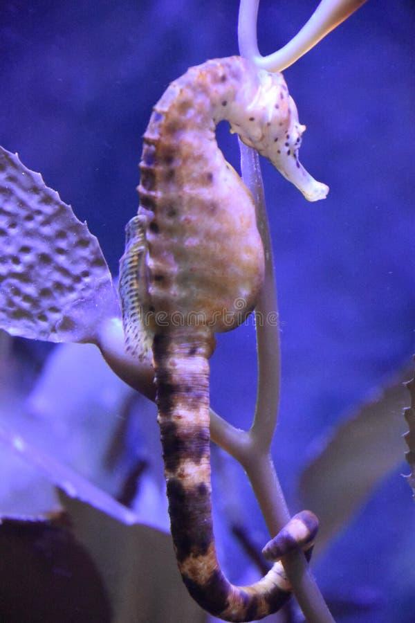 Hippocampe dans l'eau images libres de droits