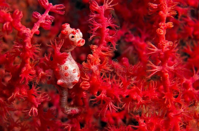 Hippocampe de Pigmy - hippocampe Bargipanti images stock