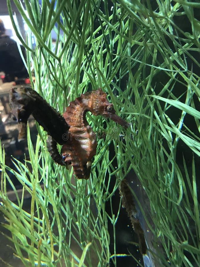 Hippocampes avec des queues ensemble dans le réservoir photos libres de droits