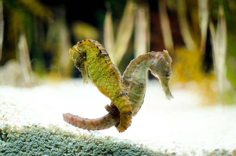 Hippocampus zdjęcie stock