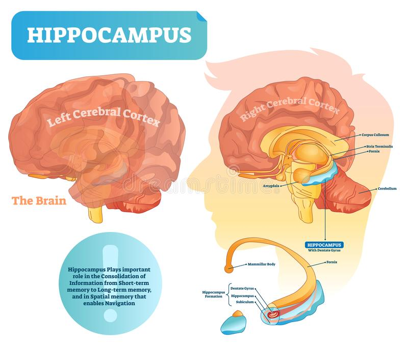 Hippocampus vector illustration. Labeled diagram with isolated closeup. Hippocampus vector illustration. Labeled diagram with isolated closeup structure and stock illustration
