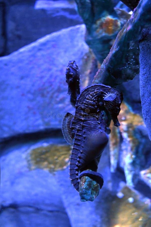 Hippocampusabdominalisstor-buk seahorse eller kruka-buktad seahorse fotografering för bildbyråer