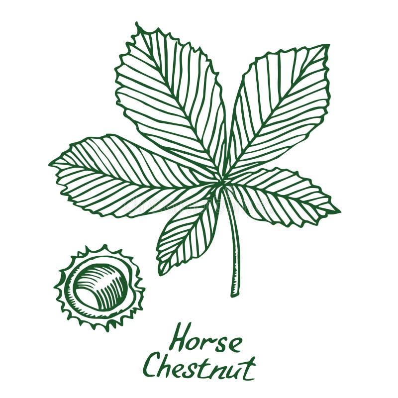 Hippocastanum d'Aesculus de marron d'Inde ou feuille et marron d'arbre de marron illustration libre de droits