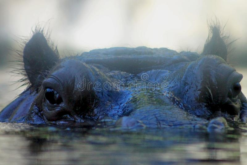Hippopatamus staring at you. One cute Hippopatamus is staring at you under the water with its top head above the surface royalty free stock photo