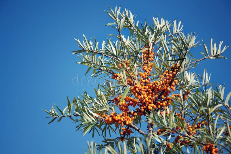 Hippophae rhamnoides żeńskie rośliny z owocowym jagoda szczegółem, pospolity dennego buckthorn krzak obrazy royalty free